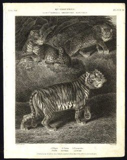 Antique print NATURAL HISTORY TIGER PANTHER LEOPARD Rees 1820   Etchings Prints