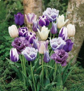 Item# 11728   (18 Bulbs) Purple Passion Blend   Unique Flower Mix   Purple Flower Garden     FALL PLANTING   SPRING FLOWERS    Flowering Bulbs Include Our bulb specialists have composed a mix of our best purple tulips and white tulips This mix will bloom